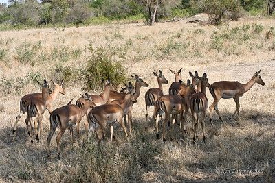 A herd of female Impala, one with a Red-billed Oxpecker on its back. This group won't be without an alpha male for long.