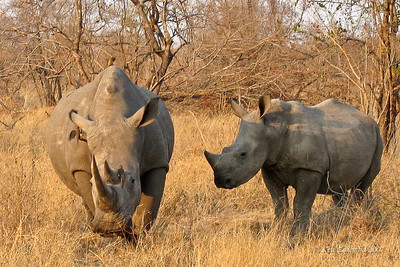 Pair ( male &  female ) of White Rhinoceros, a very endangered species due to the horrific poaching for their horn