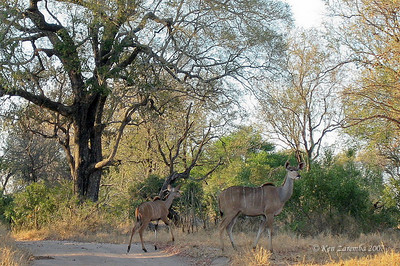 Pair of female Greater Kudu