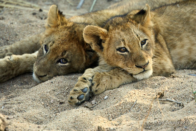 Two Lion cubs in a quiet moment in the arly morning.