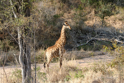 Masai Giraffe pretending its not curios about us but it will just stand ther and stare and stare aned stare.