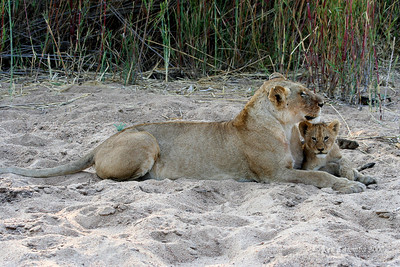 Lioness and cub in the early morning in a dry river bed