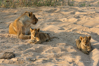 Lioness and two cubs in the early morning in a dry river bed