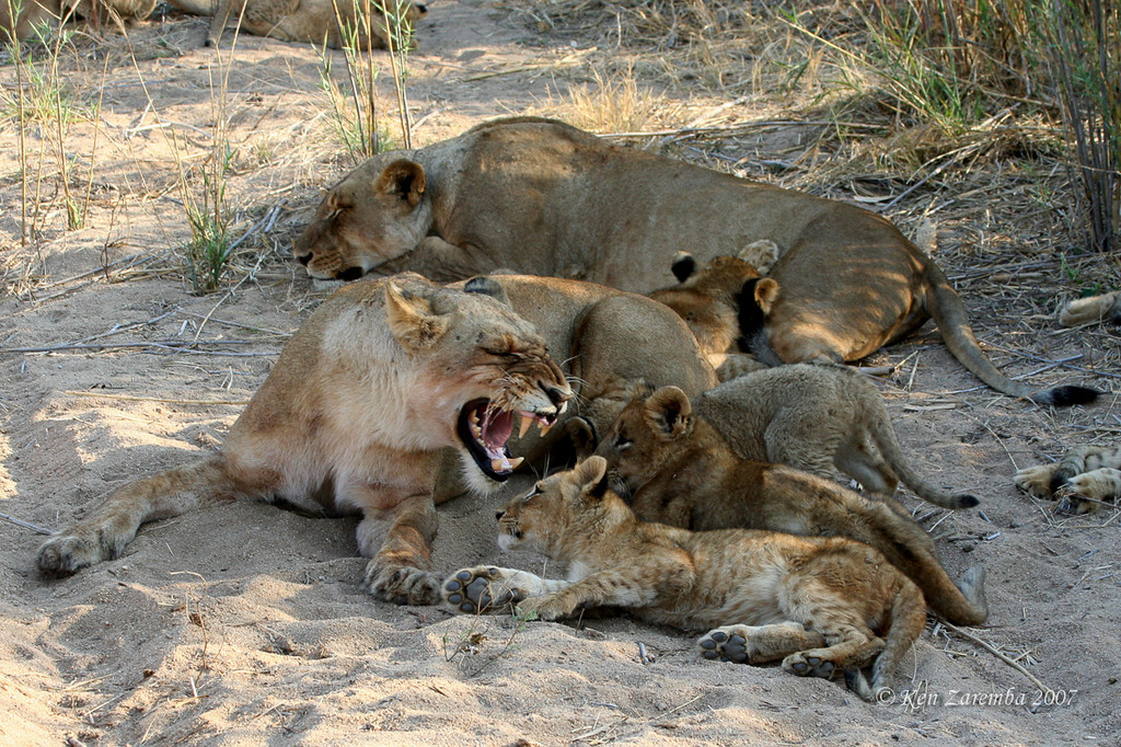Lioness growling at the cubs telling them the milk bar is not open! They are constantly trying to get another shot of milk.