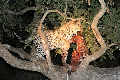 Young male Leopard with his kill that he just reclaimed from a single Spotted Hyeana. The Leopard hung it much higher in the tree this time. Lesson learned.