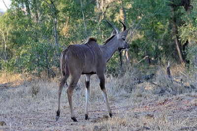 Young male Greater Kudu