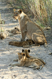 Several restful Lion cubs, one lioness and another Lion cub trying to sneak a hit at the milk bar.