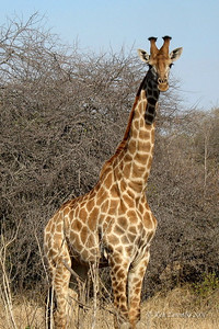 Masai Giraffe in its I'm really curios pose.