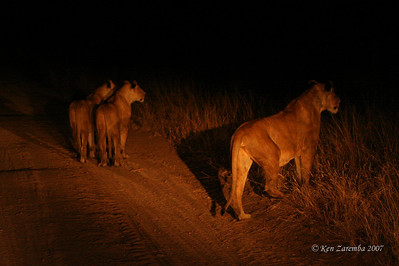 Three mother lionesses have hidden their babies in the bush while they begin a night hunt for thier next meal.