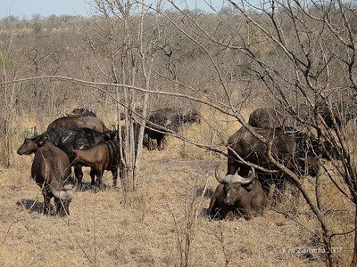 As the song says, you can't rollerskate in a buffalo herd.  African or Cape Buffalo Herd.