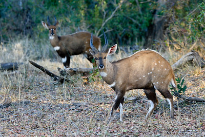 Pair of Male  Bushbuck in the bush, where they belong.