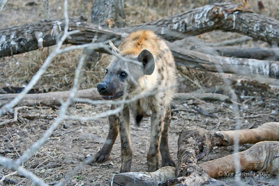 Spotted Hyaena working over the bones of a Gifaffe. Hyaenas eat so much bone  that thier scat is white from the abundance of calcium!