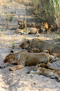Three Lionesses and their nine cubs in an unusally quiet moment in the early morning on the dry river bed.