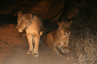 Mother lionesses have hidden their babies in the bush while they begin a night hunt for thier next meal.