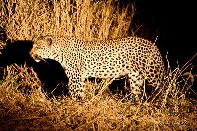 A Spotted Hyeana had just stolen this young male Leopard's kill out of a tree because it was not high enough to be out of Hyeana reach.There is only one Hyeana so the Leopard is going to reclaim his meal.