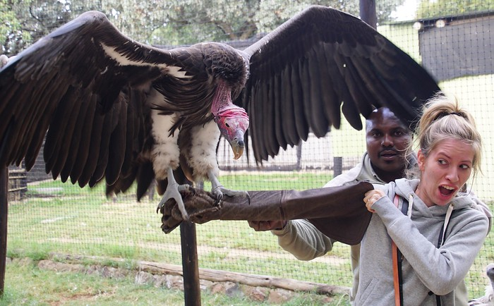 Feeding a vulture