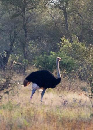 Ostrich - Kruger National Park