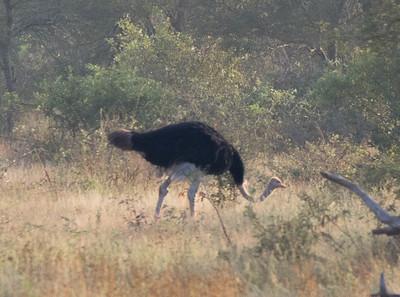 Ostrich in Kruger National Park