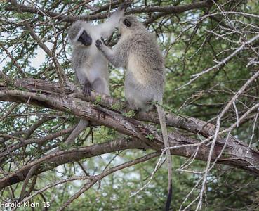 Velvet Monkeys...