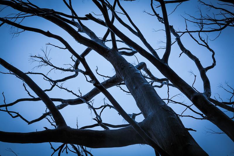 Dead Eucalyptus, Tulbagh, 2010