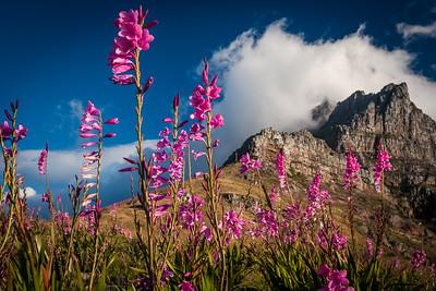 Watsonias, Table Mountain 2006