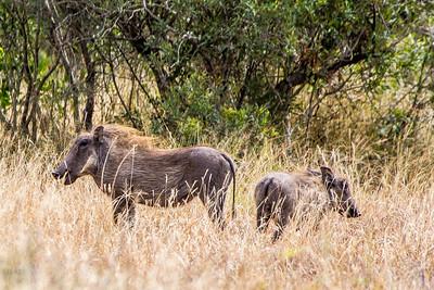 Warthog - Kruger
