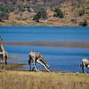 Giraffes drinking