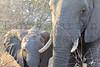 African Elephant<br /> Kruger National Park, South Africa