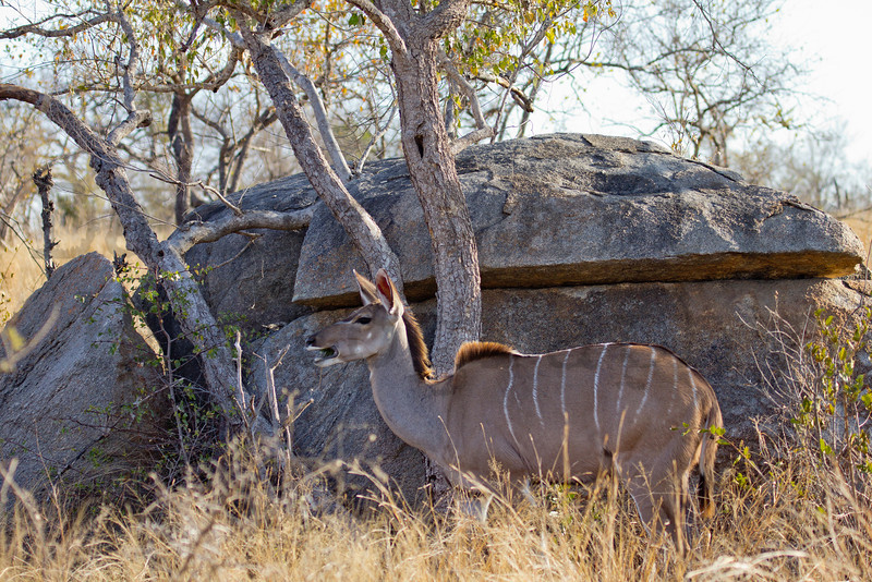 Greater Kudu (cow)<br /> Kruger National Park, South Africa