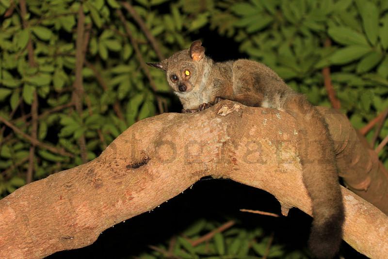 Greater Bushbaby (Galago)<br /> Kruger National Park, South Africa