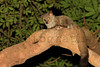 Greater Bushbaby (Galago)<br /> Kruger National Park, South Africa