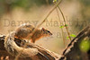 Tree Squirrel<br /> Kruger National Park, South Africa