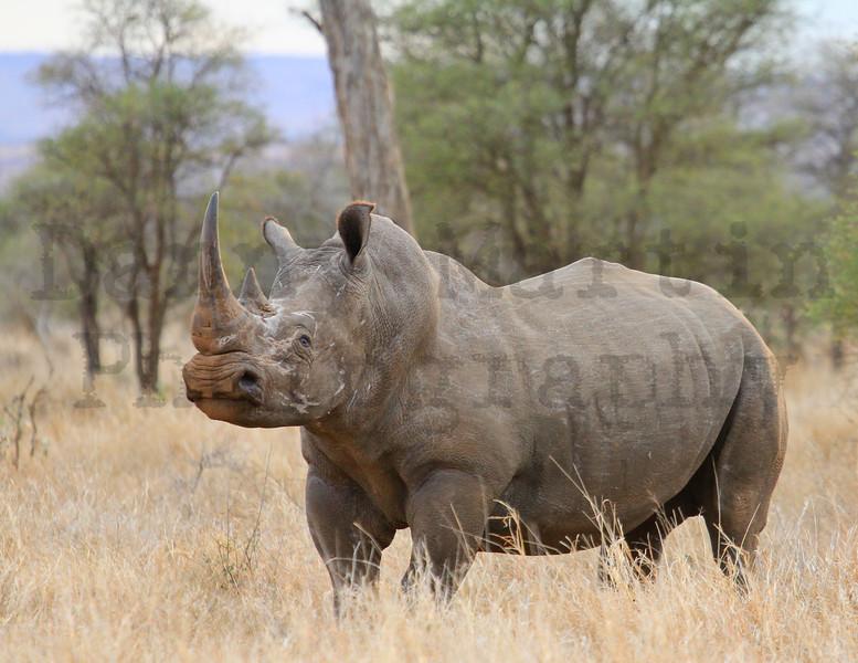 White Rhinoceros<br /> Kruger National Park, South Africa