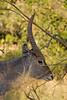 Waterbuck<br /> Kruger National Park, South Africa