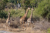 South African Giraffes <br /> Kruger National Park, South Africa
