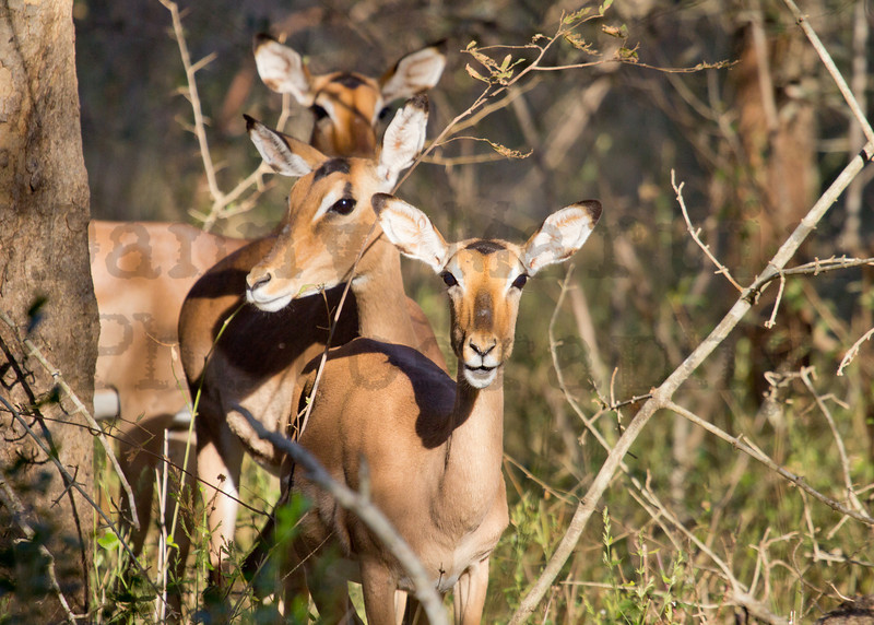 Impala<br /> Kruger National Park, South Africa