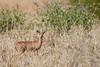 Steenbok<br /> Kruger National Park, South Africa