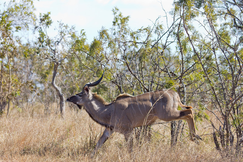 Greater Kudu (bull)<br /> Kruger National Park, South Africa