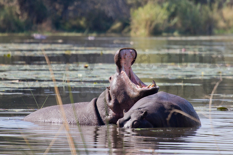Hippopotamus<br /> Kruger National Park, South Africa