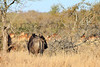 Blue Wildebeest<br /> Kruger National Park, South Africa