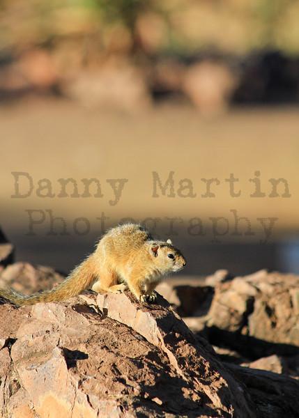 Tree Squirrel<br /> Kruger National Park, South Africa
