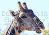 South African Giraffe<br /> Kruger National Park, South Africa