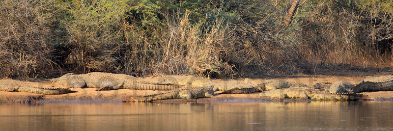 Nile crocodiles basking along the shore of a reservoir.  Kruger National Park, South Africa.