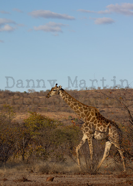 South African Giraffe<br /> Kruger National Park, South Africa