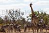 South African Giraffe & Plains Zebra<br /> Kruger National Park, South Africa