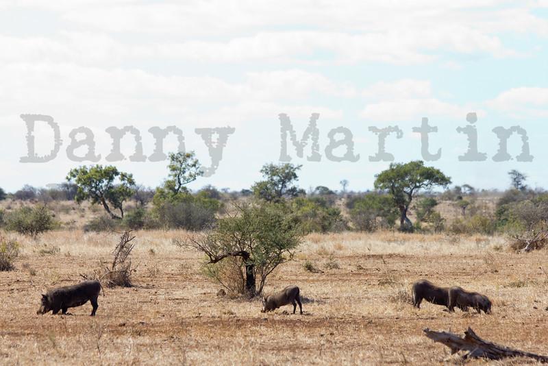 Common Warthog<br /> Kruger National Park, South Africa