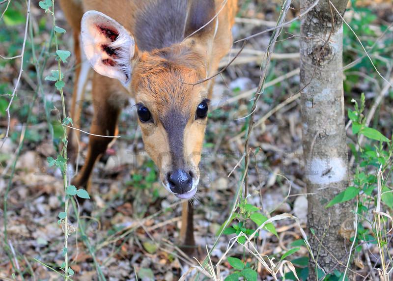 Bushbuck<br /> Kruger National Park, South Africa