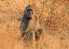 Savanna Baboon<br /> Kruger National Park, South Africa