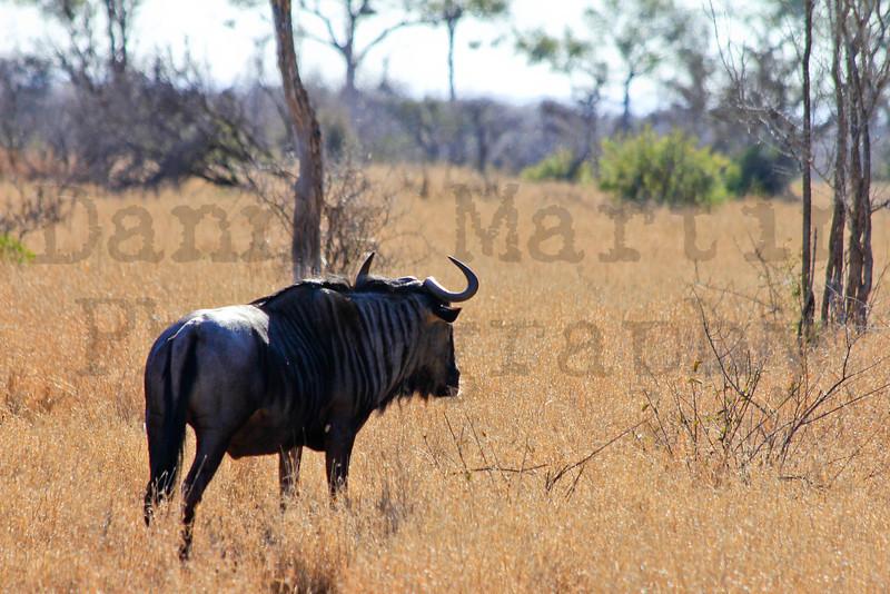 Blue Wildebeest<br /> Kruger National Park, South Africa