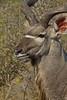 Greater Kudu (bull)<br /> Kruger National Park, South Africa